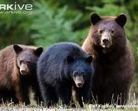 Stop Hunting Black Bears