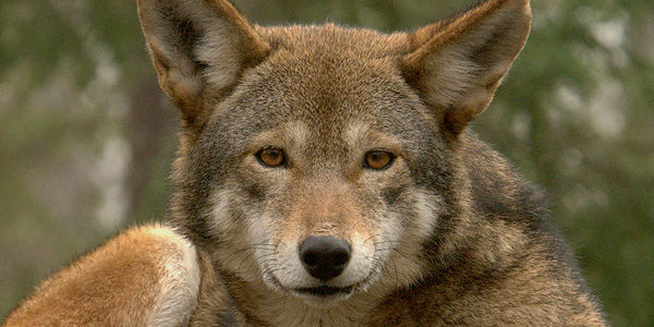 petition: North Carolina: Don't Abandon Red Wolf Recovery