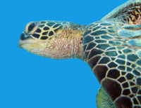 Don't Relax Sea Turtle Bycatch Limits in Hawaii