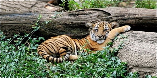 Stop Logging Malayan Tiger Rainforest