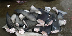 Ban the Use of Shark Products in China