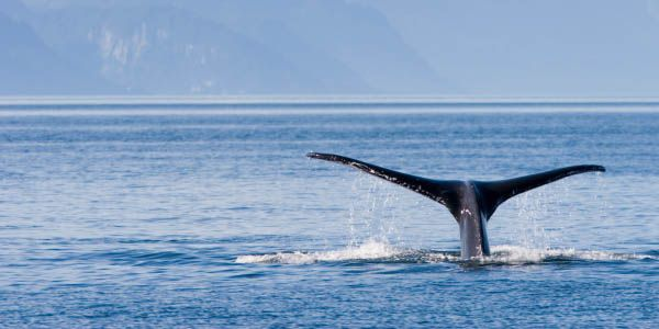 Our Governments Must Stop Japanese Whaling in Sanctuaries!