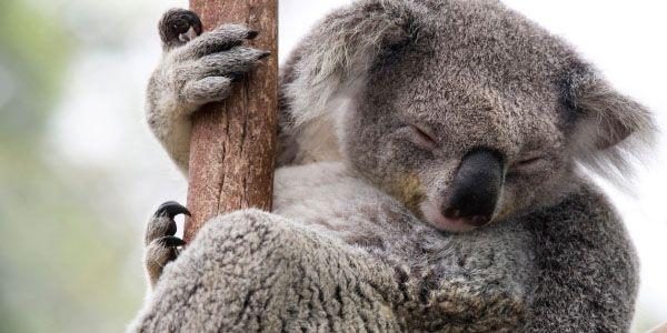 Help save the koalas of Byron Bay, Australia