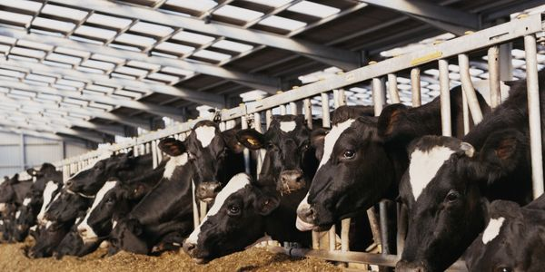 Stop Monstrous Dairy Farm in Wales