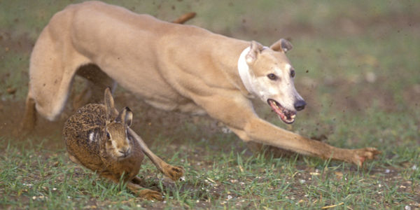 Galgos hunting a hare