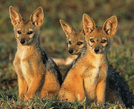 Don't Kill Jackals- Relocate Them