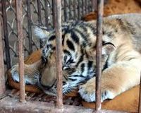 Shut down the Phuket Zoo in Thailand!