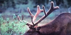 Save the Woodland Caribou