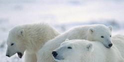 NO Oil Drilling in Polar Bear Seas