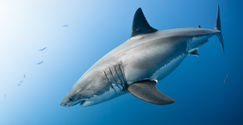 We DEMAND the Shark Cull in Western Australia Cease Now!