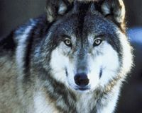 Wyoming: Don't Wipe Out Your Wolves Again