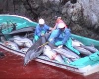 STOP! Dolphin Slaughter