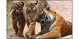 Ban the Import and Export of Tiger Bone Wine