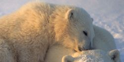 Polar Bears Need REAL Help, Not Empty Listing