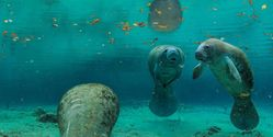 Save Florida Manatees, Sea Turtles From Dredging and Blasting
