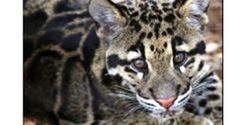 More Protection for the Clouded Leopard