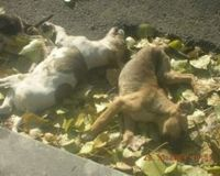 poisonned dogs on the streets of Falticeni
