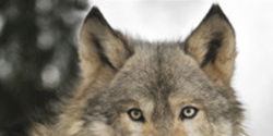 DIRECTV: Stop Spreading Wolf Stereotypes