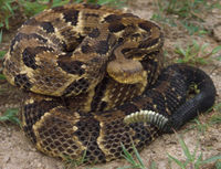 A mature Timber Rattlesnake in it's element. These animals do not belong as necklaces, belts, hatbands or stuffed trinkets--they belong in the wild doing their part to keep the ecosystem healthy.