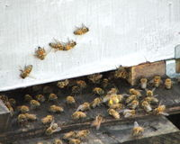 Help Save Honey Bees!