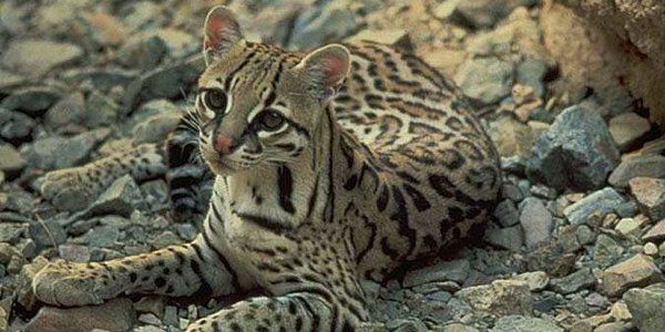 Protect Ocelots and Jaguars From Open-pit Mining