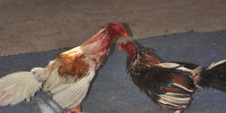 Urge the Sint Maarten Government to Keep Cock Fighting Illegal.