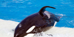 Tell Winter Olympics City Not to Display Wild Orcas