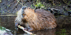 Michigan: Don't Legalize Beaver Trapping For Furs!