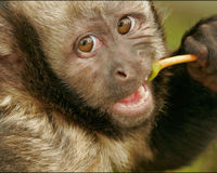 SAVE THE YELLOW-BREASTED CAPUCHIN