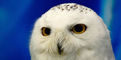 Immediately End the killing of Snowy Owls at JFK Airport