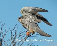 India - Stop the Trapping of Amur Falcons for the Meat Trade