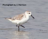 China - Put an End to Shorebird Trapping