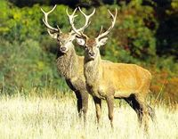 Stop the slaughter of deers in Veneto