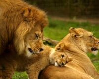 Illinois- Make Lion Meat Illegal