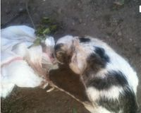 Stop PSYCO from PLOIESTI ROMANIA KILLING CATS