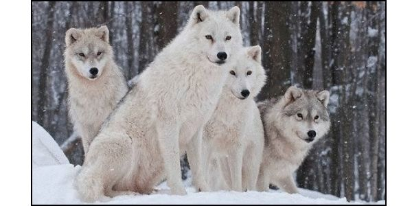 Keep Wolves Listed as an Endangered Species