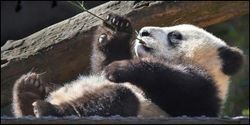 Save Giant Pandas in Unprotected Forests
