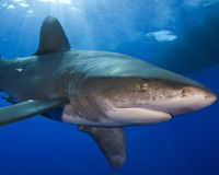 Help Save The Whitetip Shark From Extinction