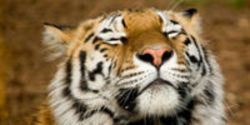 Protect the Sumatran Tiger from Extinction