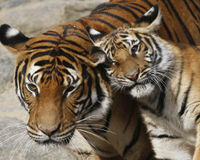 Save the Indochinese Tiger in Thailand