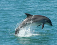 Stop the capture and trade of dolphins in The Solomon Islands.