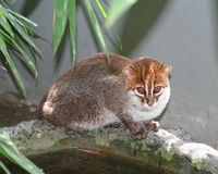 Saving the Sumatran cats.