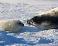 Support the EU Ban on Seal Products!