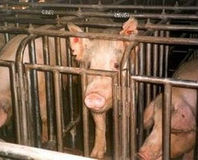 Tell Walmart to Change Abusive Pork Supplier