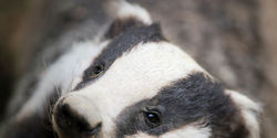 Stop Badger Suffering in the UK