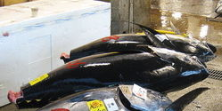 Act Now to Protect Bluefin Tuna