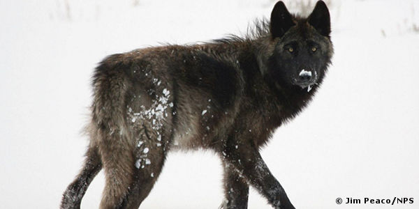 Stop the Anti-Wolf Agenda in Wisconsin!