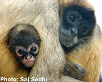 Keep Endangered Spider Monkeys Safe!