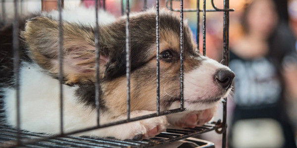 petition: Stop Letting Pet Stores Support Puppy Mill Cruelty