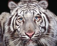 SAVE THE WHITE TIGER